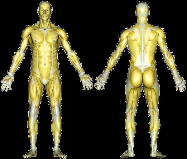 Venyttely lihaskartta