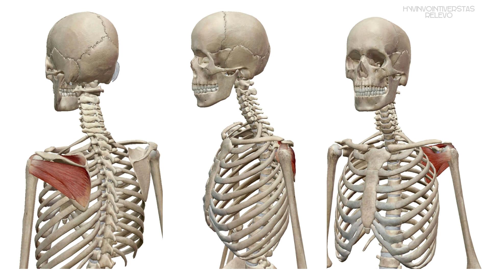 Kiertäjäkalvosimen lihakset